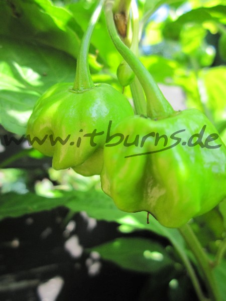 Chocolate Bhut Jolokia 02