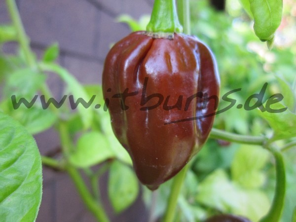 Scotch Bonnet Guadalupe black 01